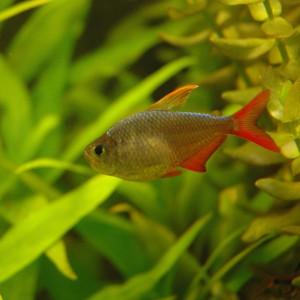 Hyphessobrycon ecuadoriensis