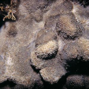 Goniopora stutchburyi