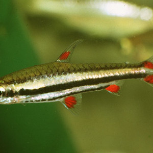 Nannostomus harrisoni