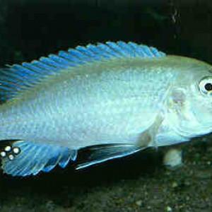Labidochromis mylodon