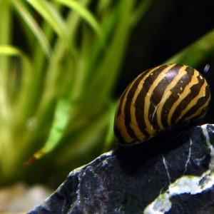 Neritina natalensis