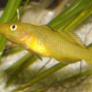Mugilogobius rexi