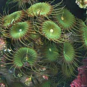 Protopalythoa mutuki