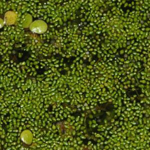 Wolffia microscopica