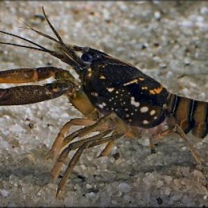 Procambarus pictus