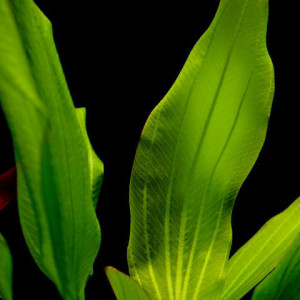 Echinodorus argentinensis