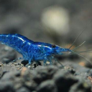 Neocaridina davidi var. blue dream