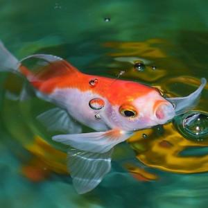 Naissance de l'aquariophilie : l'histoire du poisson rouge !