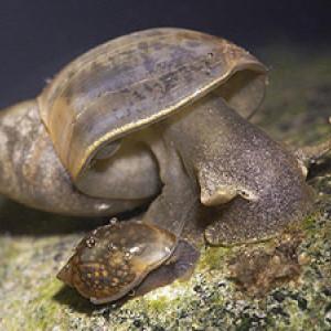 Fossaria truncatula