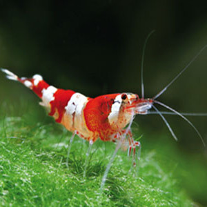Caridina sp. crystal red