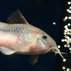 Comment se reproduisent nos poissons ?