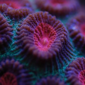 Rivalité et agressivité entre coraux