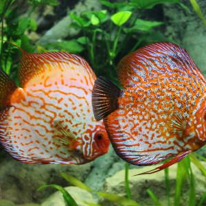 Acheter des poissons pour son aquarium