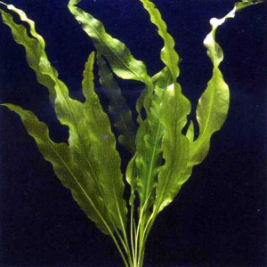 Aponogeton elongatus