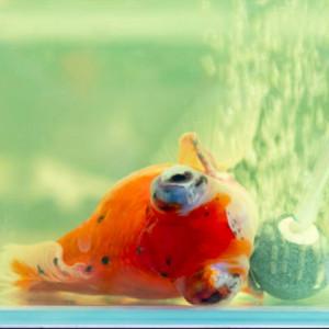 Euthanasie, ou comment se séparer d'un poisson malade ?