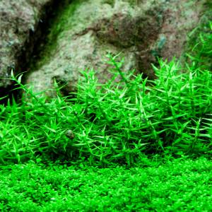 Gratiola viscidula