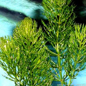Ceratophyllum demersum var Foxtail