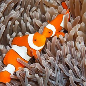 Anémones et poissons-clowns