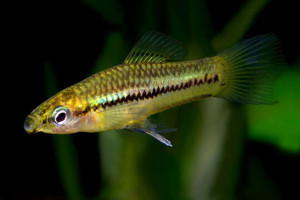 Xiphophorus pygmaeus