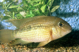 Aequidens potaroensis