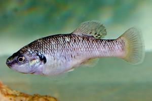 Allodontichthys polylepis