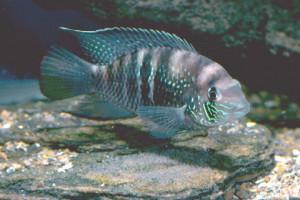 Andinocara sapayensis