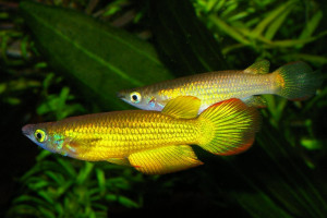 Aplocheilus lineatus