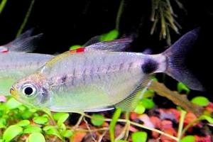 Bathyaethiops caudomaculatus