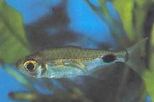 Bathyaethiops greeni