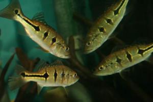 Cichla orinocensis