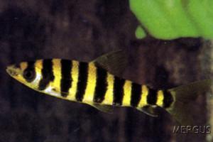 Leporinus affinis