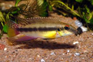 Pelvicachromis humilis
