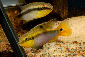 Pelvicachromis roloffi