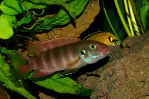 Pelvicachromis rubrolabiatus