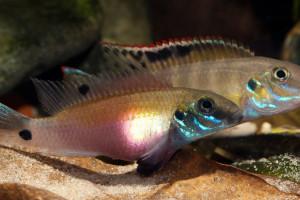 Pelvicachromis signatus