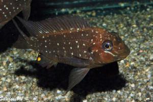 Petrochromis trewavasae