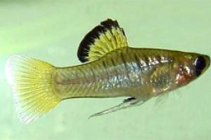 Phallichthys amates