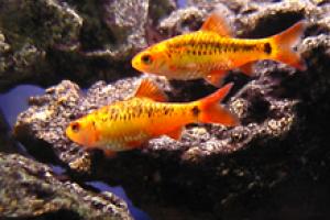 Puntius endecanalis