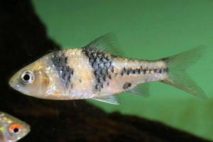 Puntius kuchingensis