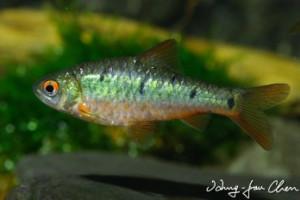 Puntius ornatus