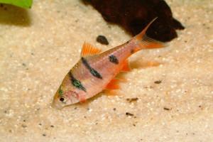 Puntius pachycheilus