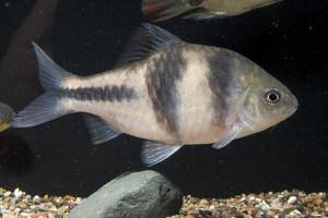 Puntius yuensis