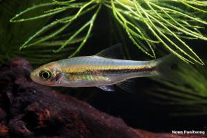 Rasbora paucisqualis