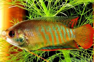Trichogaster fasciata