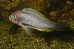 Tropheus annectens (polli)