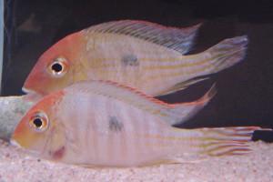 ZZ Geophagus sp. red head