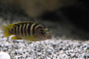 ZZ Labidochromis sp. perlmutt