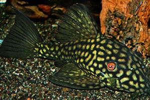 ZZ Panaque cf. nigrolineatus L330