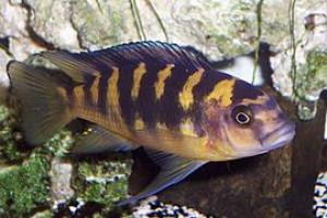 "ZZ Pseudotropheus sp. ""Deep Tanzania"""