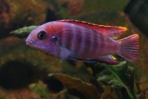 ZZ Tropheops sp. Macrophtalmus Chitimba
